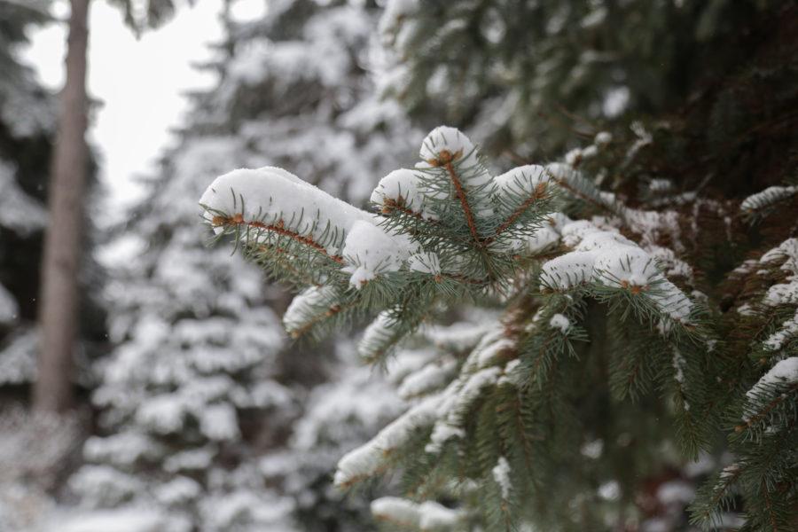 Evergreen, Snow