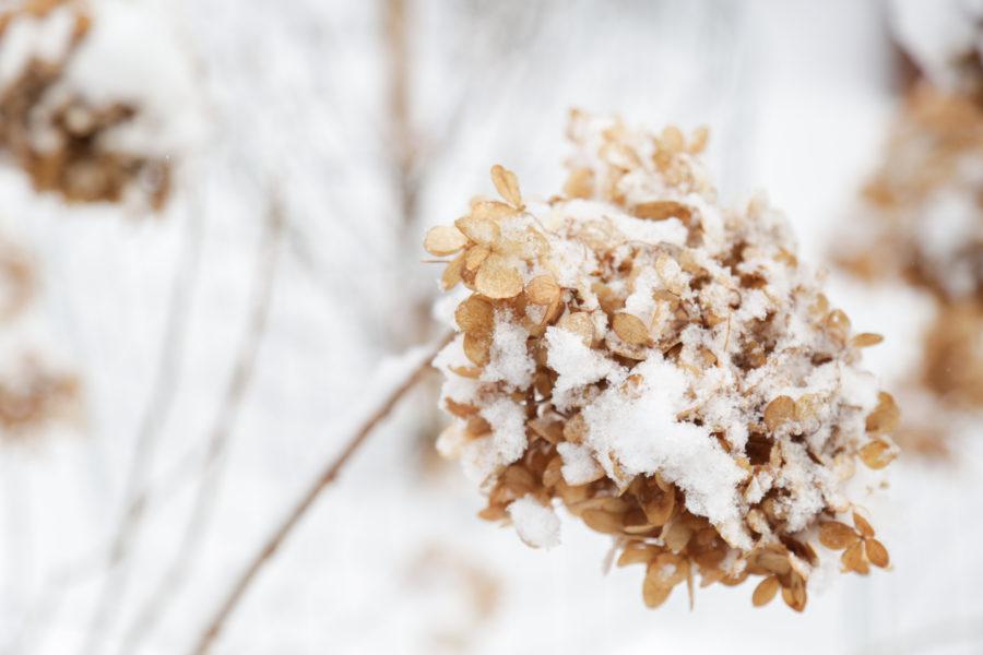 Hydrangea and snow