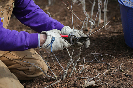 5 Purple Polo Pruning Tips