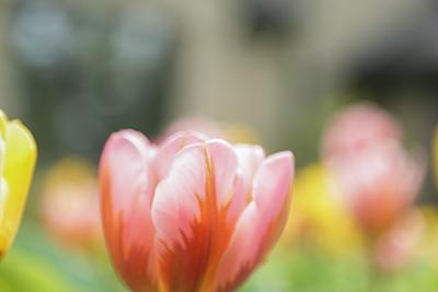 Brushstrokes of Spring Bulbs