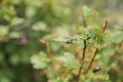 Japanese Beetles: Planting for Next Year