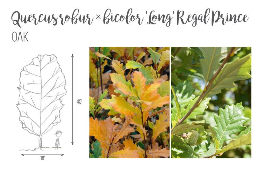Quercus robur x bicolor 'Long' Regal Prince Oak