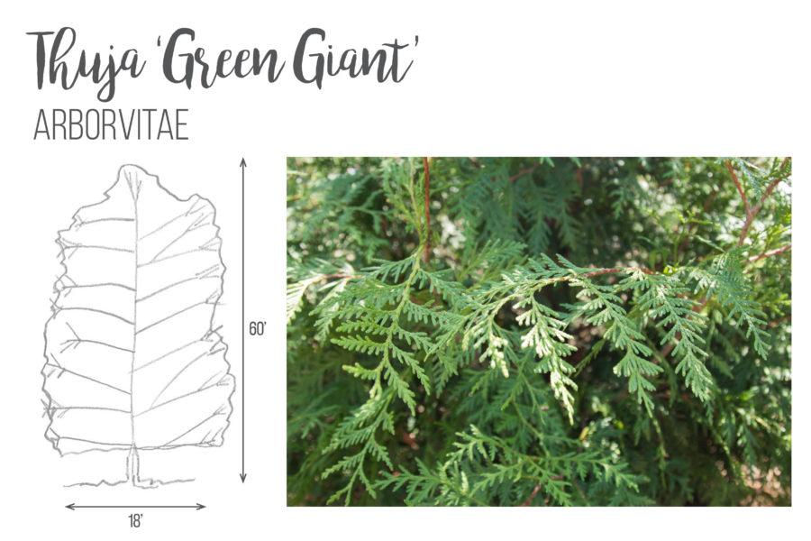 Thuja 'Green Giant'