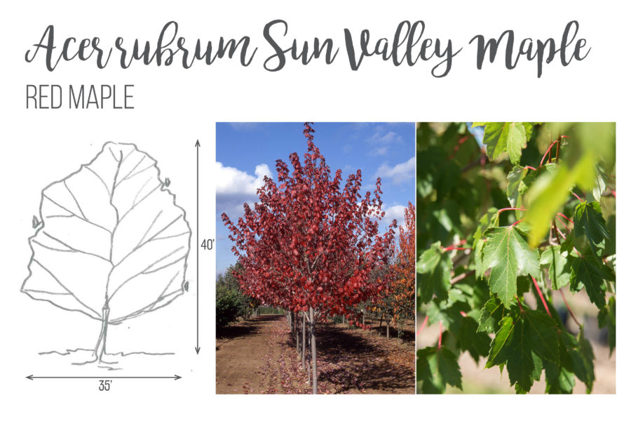 Acer rubrum Sun Valley Maple Red Maple