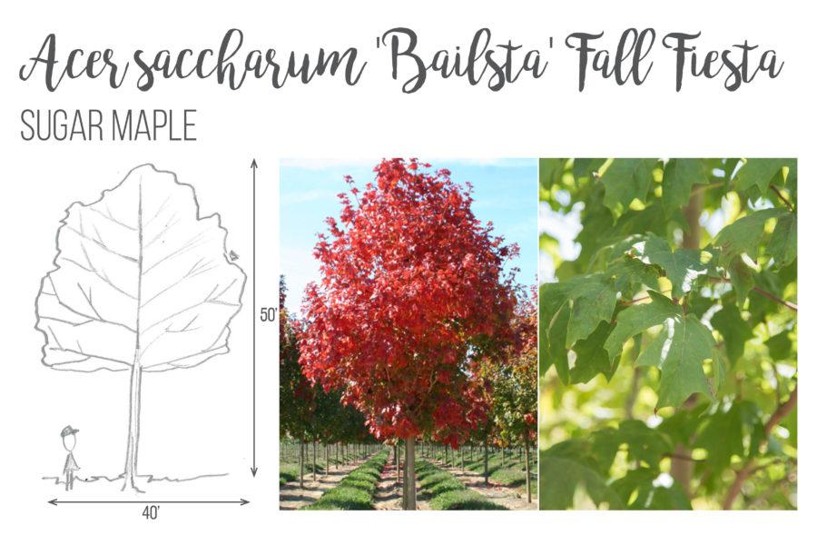 Acer saccharum 'Bailsta' Fall Fiesta Sugar Maple