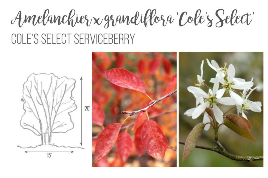 Amelanchier x grandiflora 'Cole's Select' Serviceberry