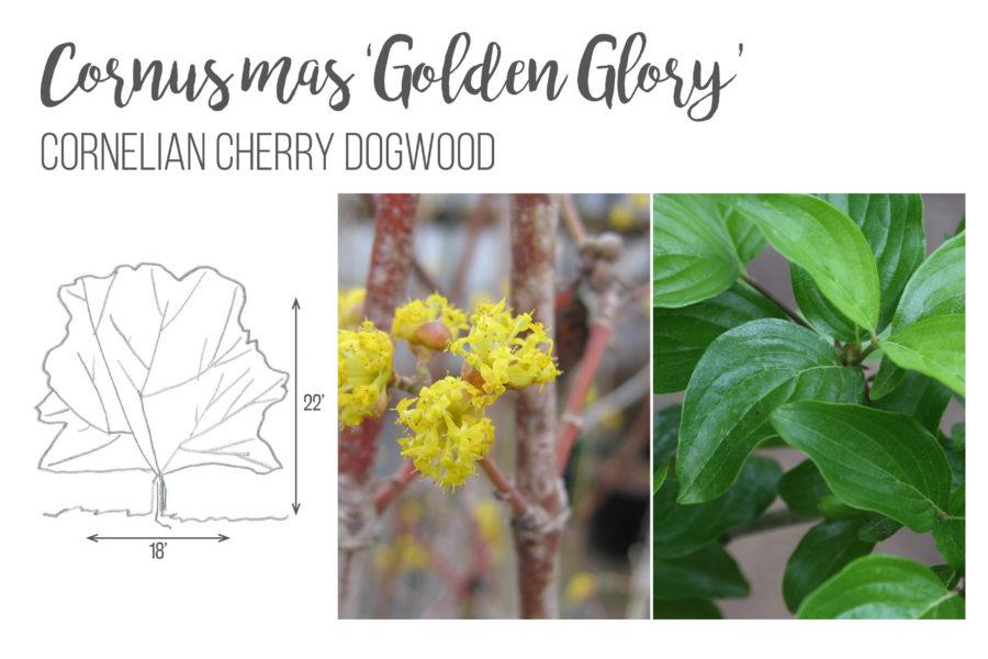 Cornus Mas 'Golden Glory' Cornelian Cherry Dogwood