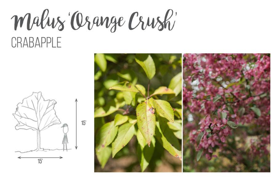 Malus 'Orange Crush' Crabapple