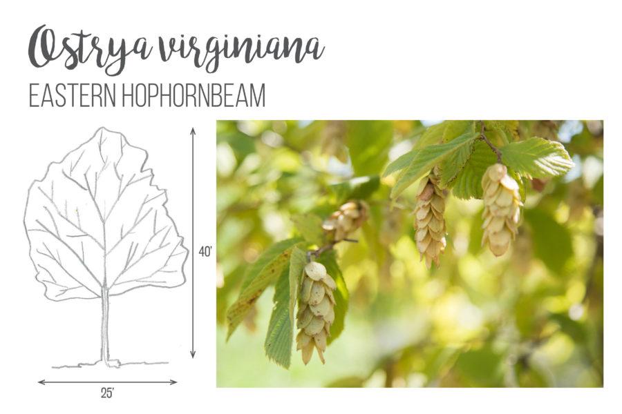 Ostrya virginiana Eastern Hophornbeam