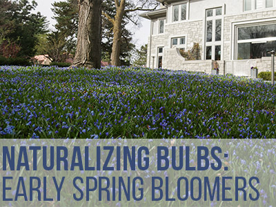 Naturalizing Bulbs: Early Spring Bloomers