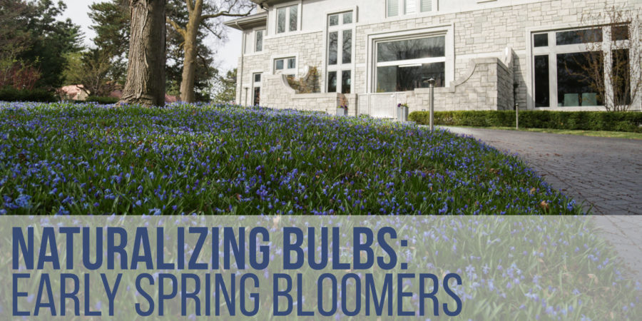 Naturalizing Bulbs Early Spring Bloomers Kinghorn Gardens